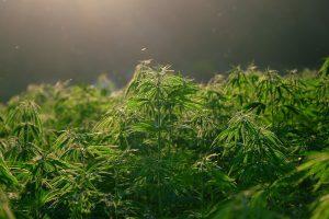 meilleure souche cannabis CBD 3