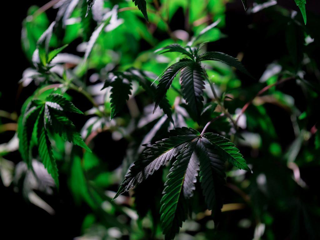 Quelle est la différence entre Sativa et Indica ? - cbd naturel